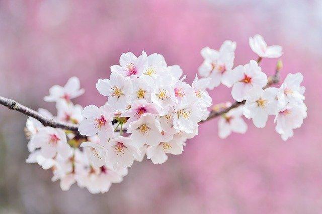 cherry-blossoms-2218781_640.jpg